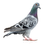 Pigeon control stops pigeons